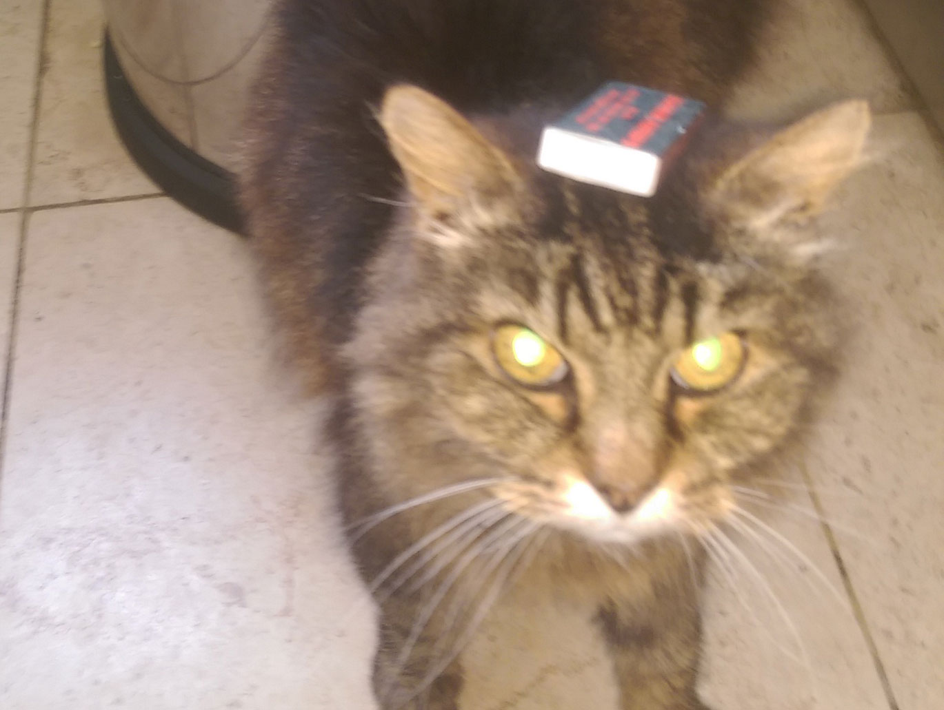 Cat Simba matchbox on head