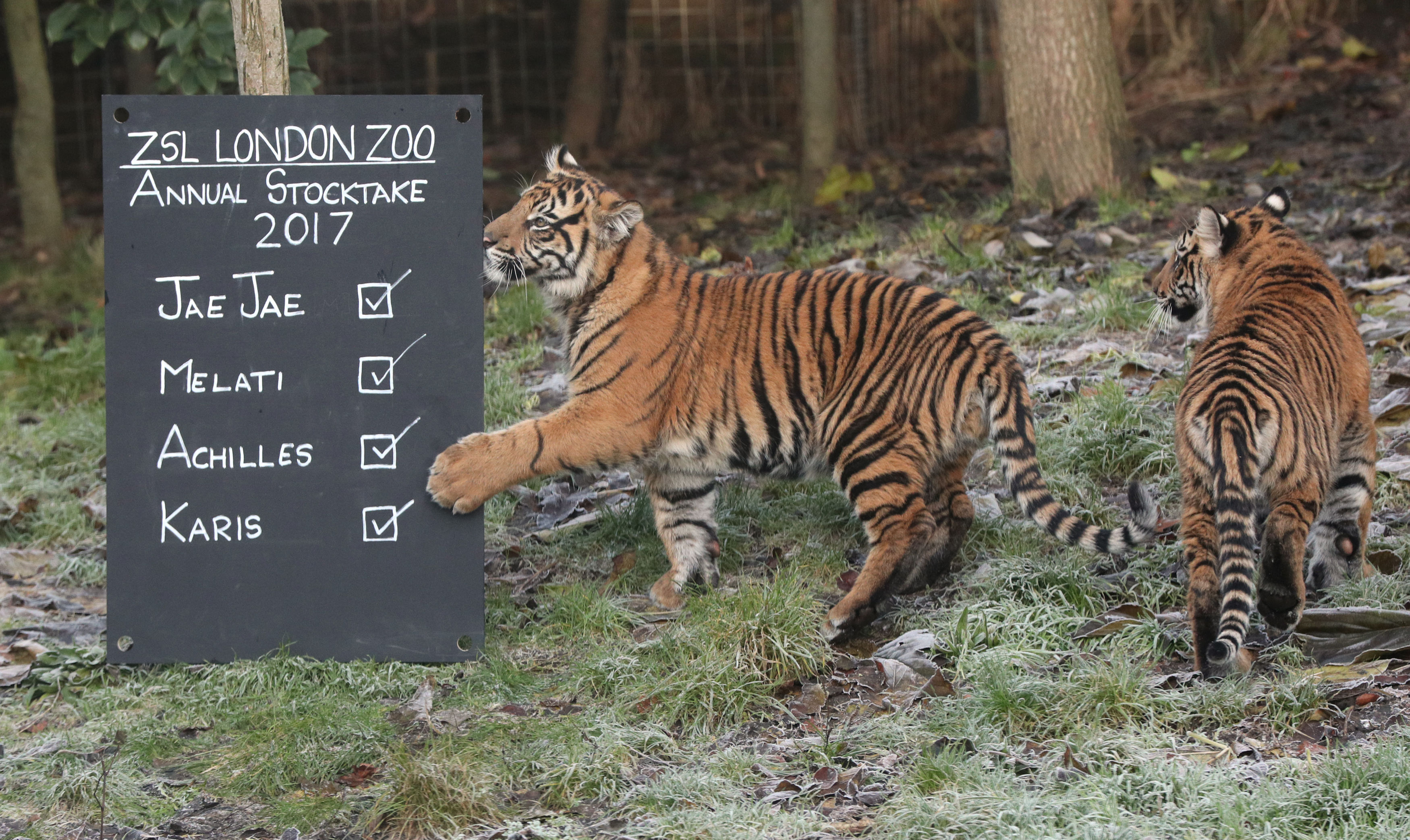 London Zoo animal count tiger
